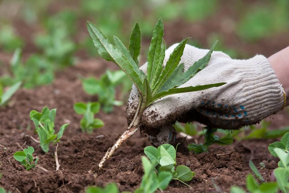 garden maintenance - weeding
