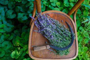 August_Lavender