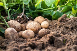 September_potatoes